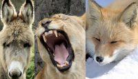 Si no puedes ser león, evoluciona como el zorro
