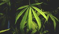 Cannabis medicinal: con receta y en farmacia